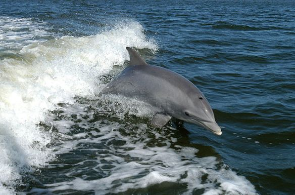 Bottlenose Dolphin photo: NASA