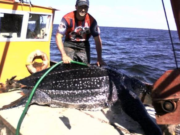 Leatherback bycatch in Argentina-