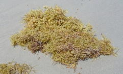 Sargassum sea grass Photo: Katy Pye