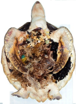 50% turtle 50% plastic-