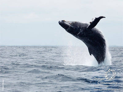Leaping humpback whale