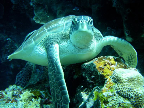 Sea Turtle Wallpaper__yvt2-rs