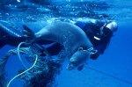Seal-entangled-NOAA