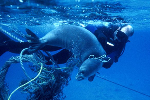 Seal-entangled-NOAA