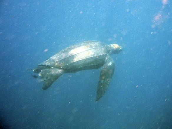 Leatherback-Wallace Nichols