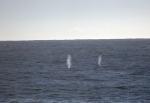 Grey whale spouts-Katy Pye