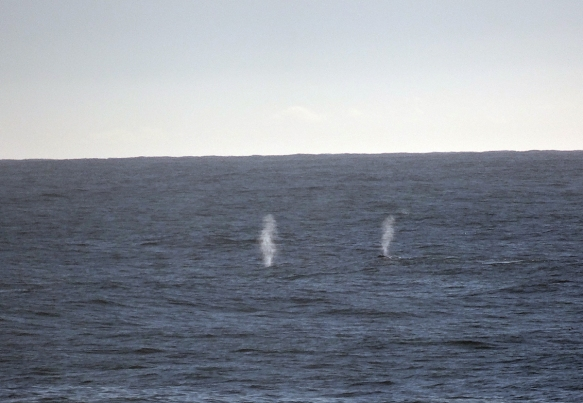 Grey whale spouts-Katy Pye