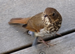 Hermit Thrush Photo: Katy Pye All rights reserved