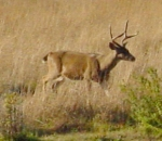 Mule deer buck Photo: Katy Pye All rights reserved