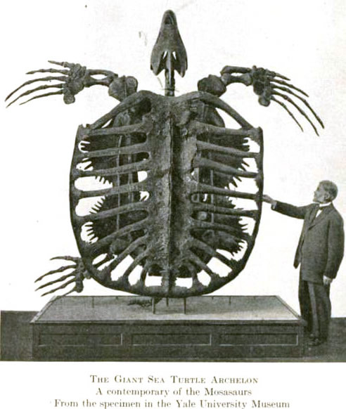 Archelon skeleton, an ancient sea turtle. Photo from the Peabody Museum at Yale. 80.5 million years old