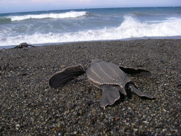 Leatherback hatchling Photograph: Scott Benson NOAA