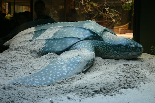 Leatherback_sea_turtle_CC-ryan Somma