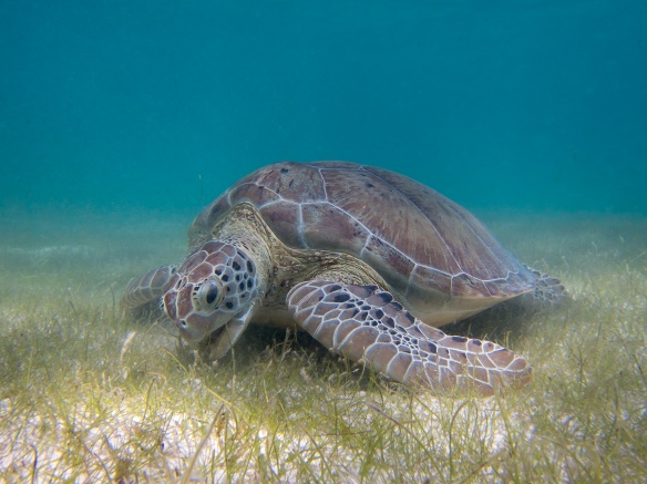 Green sea turtle feeding