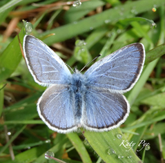 Spring azure (likely). A common butterfly.  Photo: Katy Pye