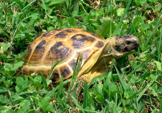"""Testudo horsefieldii-""""Russian tortoise"""""""