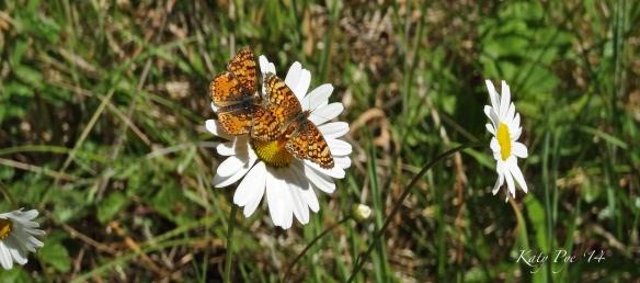 Butterflies on aster 6547cr KPfull
