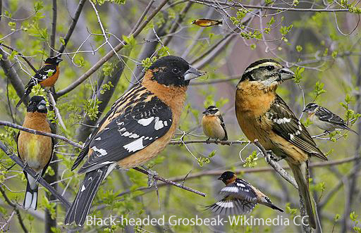 Black_headed_grosbeak_From_The_Crossley_ID_Guide_Eastern_Birds_edited-1