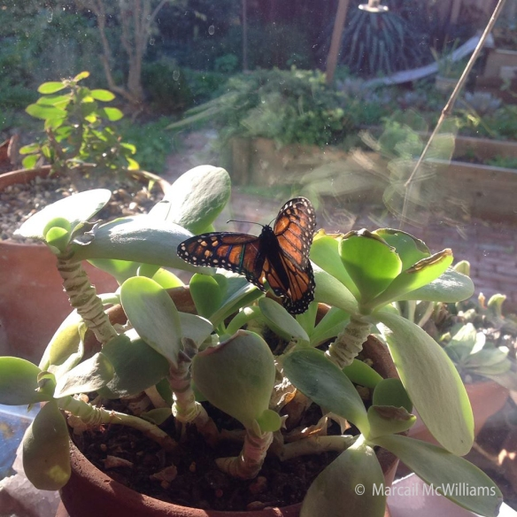 "House-sitting with Marcail ~ ""It feels so good to be on a plant with sunshine on my wings!"" Franca"