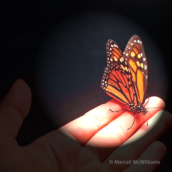 Monarch rescue copyright Marcail McWilliams
