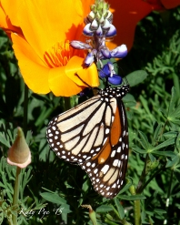 Monarch on poppy-Katy Pye