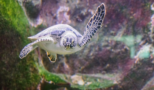 sea-turtle-1229714_640adj