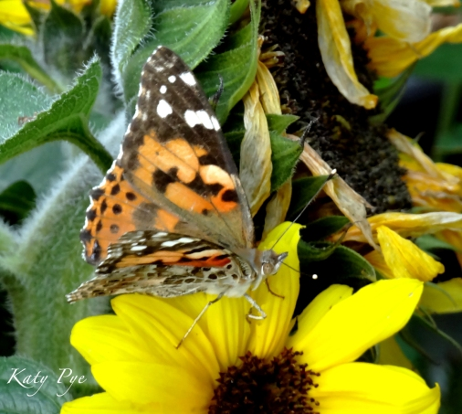 painted lady on sunflower 'Choco Sun'-Katy Pye