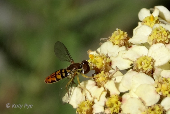 Syrphid fly on yarrow 9858rsKP